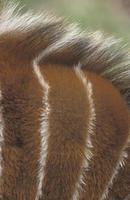 bongo, tragelaphus eurycerus, foto