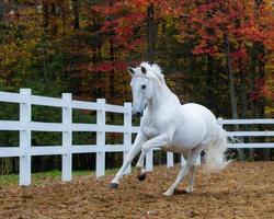 stallone bianco al galoppo