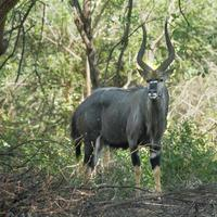 Nyala nel parco nazionale Kruger foto