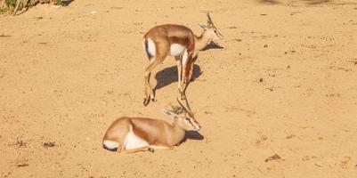 gazzella mammifero foto