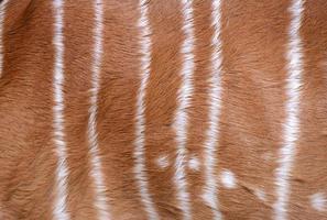 strutturato di pelliccia di nyala foto