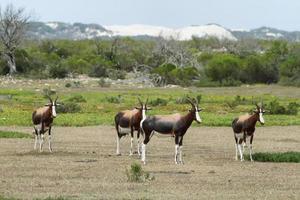 bonteboks nella riserva naturale de hoop foto