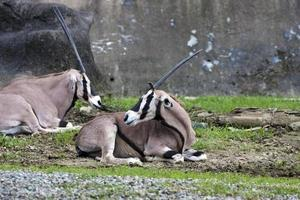 antilope dell'Africa orientale foto