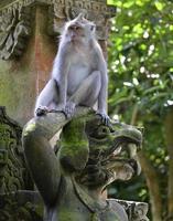 scimmia macaco, foresta delle scimmie ubud, bali