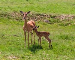 antilope. Sud Africa. 19 dicembre 2014 foto