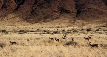 springbok foto