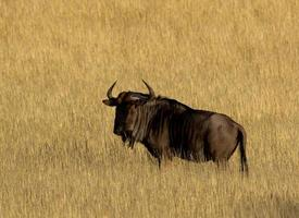 GNU blu foto