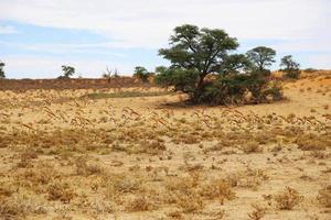 branco di antilopi nel deserto foto