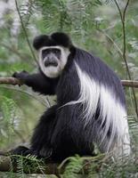 scimmia colobus