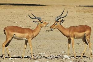 fondo della fauna selvatica dall'Africa - impala divertente foto