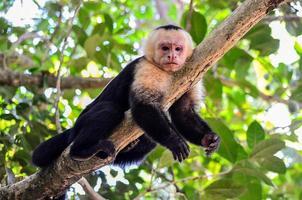 scimmia cebus foto