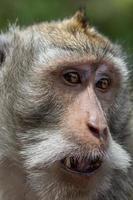 ritratto di scimmia