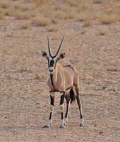 gemsbok contro la duna di sabbia nel deserto