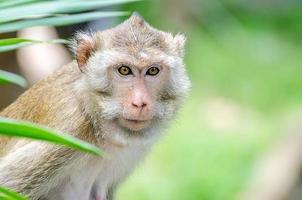 macaco dalla coda di maiale (macaca nemestring) foto