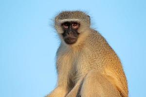 scimmia vervet foto