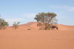 orice tra le dune di sossusvlei, deserto del namib, namibia, africa foto