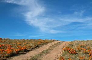 strada attraverso i papaveri dorati della California in primavera