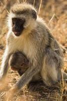 scimmia e neonato foto