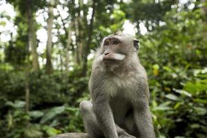scimmia di ubud, bali foto