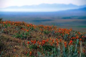 fiori di papavero