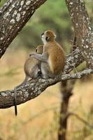 scimmie vervet foto