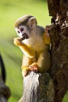 Ragno scimmia