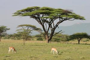 impala, antilope, aepyceros melampus di fronte all'acacia, savana africana