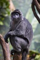 scimmia grigia foto