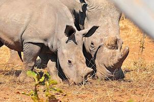 Mosè il rinoceronte bambino foto