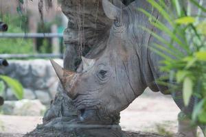 rinoceronte foto