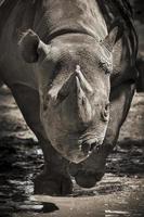 cariche di rinoceronte nero in via di estinzione verso la telecamera allo zoo locale foto