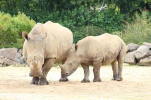 duo di rinoceronti foto