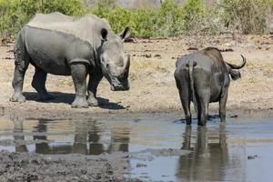 rinoceronte e bufalo