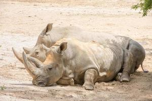 ritratto di rinoceronte bianco africano mentre vi rilassate foto