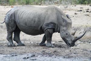 rinoceronte a piedi foto