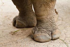 testa di rinoceronte. foto
