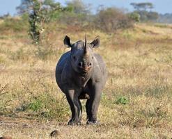 africa big five foto