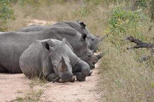 famiglia di rinoceronti foto