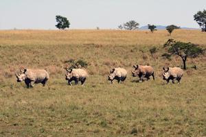 rinoceronte, rinoceronte, parco di Kruger. Sud Africa; носорог, пять бегущих носорогов foto
