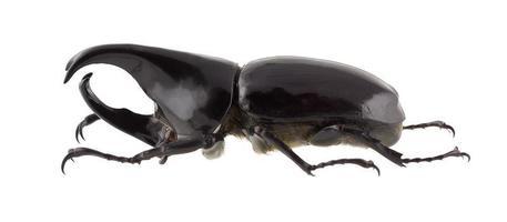 scarabeo rinoceronte siamese maschio, xylotrupes gideon