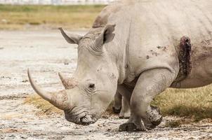 rinoceronte ferito foto