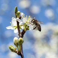 l'ape impollina un primo piano della ciliegia del fiore foto
