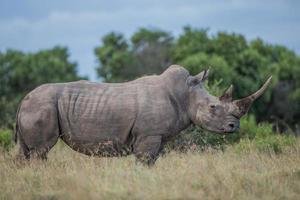 vista laterale di rinoceronte foto