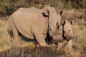 due rinoceronti foto