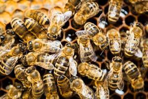colpo a macroistruzione delle api che sciamano su un favo foto