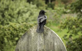 grande corvo appollaiato su una lapide, immagine a colori