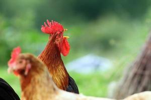 canto del gallo su sfondo verde