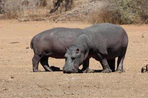 ippopotami crogiolarsi al sole foto
