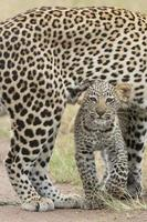 leopardo africano femminile che cammina con il suo piccolo cucciolo, Tanzania foto