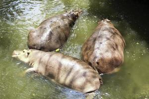 tre ippopotami che giacciono nell'acqua foto